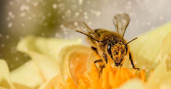 Le api sono davvero a rischio estinzione? - Zainet